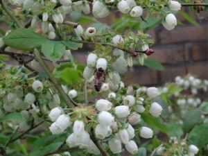 Bijen zijn de beste bestuivers bij de Blauwe bes.  Plaats voldoende bijen volken om verzekerd te zijn van een maximale vruchtzettign en kwaliteit