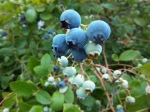 Blauwe bes met vrucht